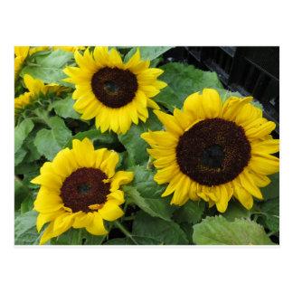Sonnenblume-Trio Postkarte