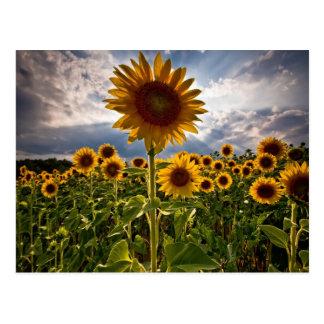 Sonnenblumen Postkarte