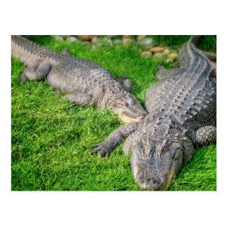 Sonnenschein-Alligatoren Postkarte