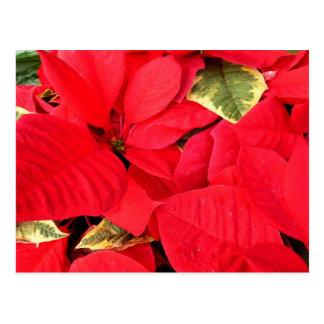 Stechpalmen-Punkt-Poinsettia-Weihnachtsfeiertag Postkarte