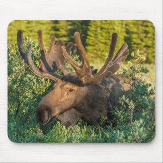 Stier-Elche im Samt, Colorado Mauspad