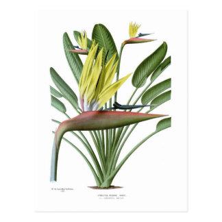 Strelitzia reginae postkarte