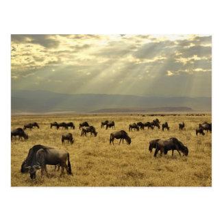 Sunbeams und Wildebeest, Connochaetes taurinus Postkarte
