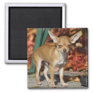 Süße Charlie-Chihuahua Quadratischer Magnet