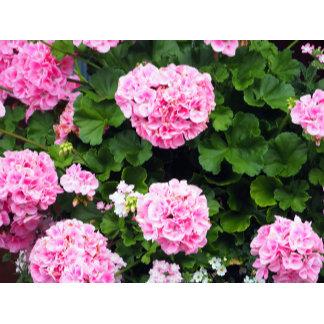 Pink Geraniums 185