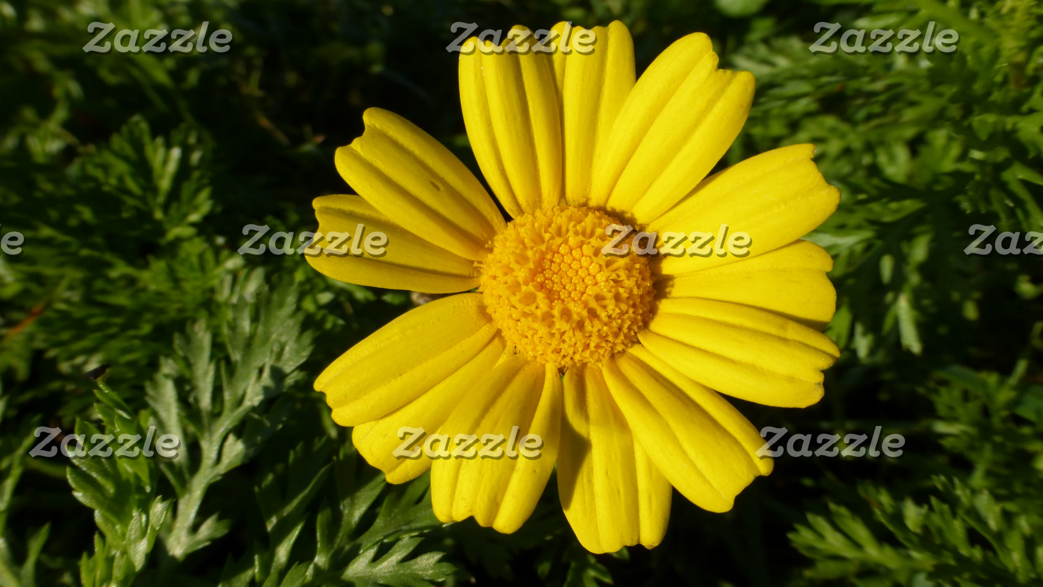 Natural Background - Sunny Yellow Chamomile