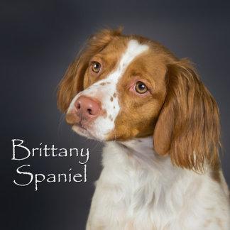 Brittany Spaniel