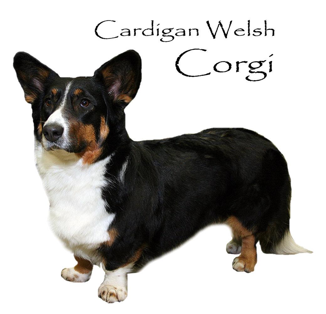 Corgi (Cardigan Welsh)