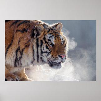 Tiger auf einem kalten Morgen Poster