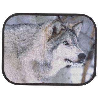 Timberwolf, Canis Lupus, Film Tierutah) Automatte