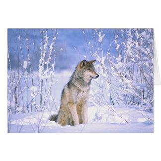 Timberwolf, der im Schnee sitzt, Canis Lupus, Karte