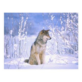 Timberwolf, der im Schnee sitzt, Canis Lupus, Postkarte