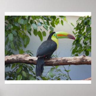 Toucan Foto-Plakat Poster