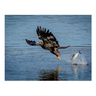 Unreifer Weißkopfseeadler, der einen Fisch Postkarte