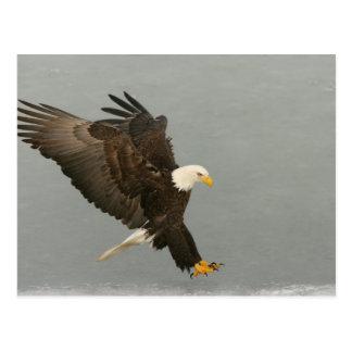 USA, Alaska, Homer. Weißkopfseeadler in der Postkarte