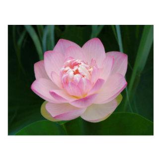 USA, Kansas, rosa Wasser Lilly Postkarte