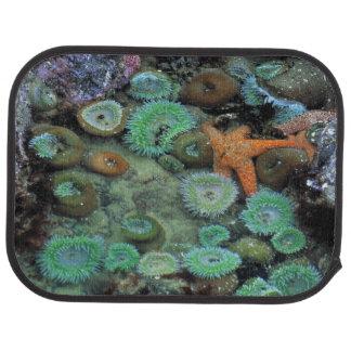 USA, Oregon, Nepture SP. Ein orange Starfish ist Automatte