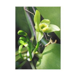 Vanille-Orchidee Gespannte Galerie Drucke