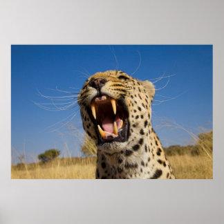 Verwirrender Leopard Poster