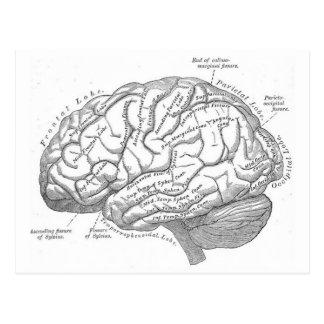 Vintage Gehirn-Anatomie Postkarte