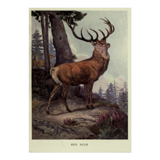 Vintage rote Rotwild Painting (1909) Poster