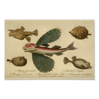 Vintager Fliegen-Fisch-Naturgeschichte-Druck Poster