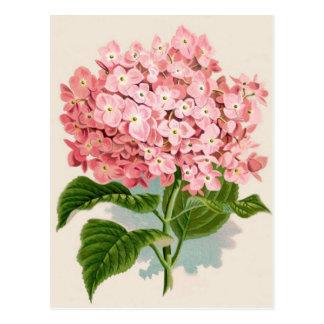 Vintager rosa Hydrangea Postkarte
