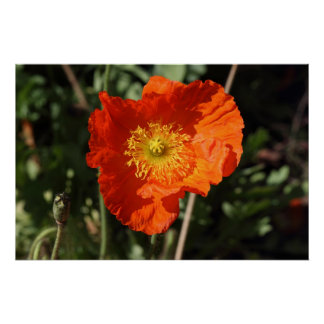 Waliser-Mohnblume (orange) Poster