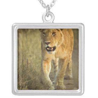 Weiblicher Löwe, der am Sonnenuntergang, Masai Versilberte Kette