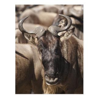 Weiß-bärtiger Wildebeest mit Wattled Starling Postkarte