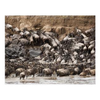 Weiß-bärtiger Wildebeest oder Gnu, Connochaetes Postkarte