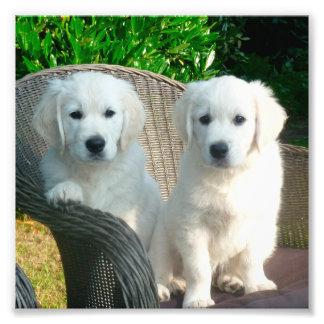 weiße golden retrieverhunde, die im Faserstuhl Fotodrucke
