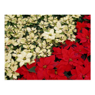 Weißer und roter Feiertag der Poinsettia-I mit Postkarte