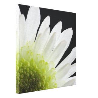 Weißes Gänseblümchen auf Schwarzem Gespannter Galerie Druck