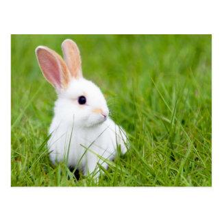 Weißes Kaninchen Postkarte