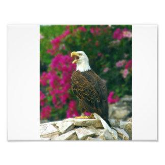 Weißkopfseeadler Fotografie