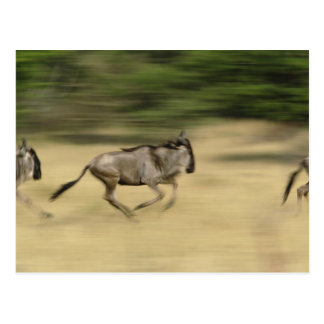 Wildebeest in der Bewegung, Connochaetes taurinus, Postkarte