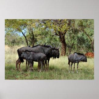 Wildebeest Südafrika Poster