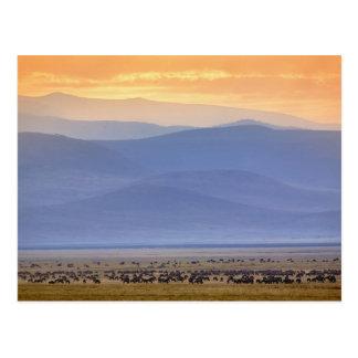 Wildebeest während der Migration, Connochaetes Postkarte