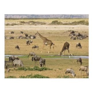 Wildebeests, Zebras und Giraffen erfassen an a Postkarte