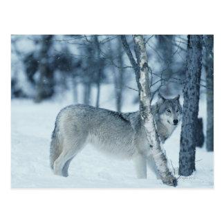 Wolf (Canis Lupus) während des Winters Postkarte