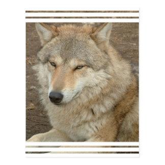 Wolf-Postkarte Postkarte