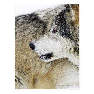 Wolf Postkarten