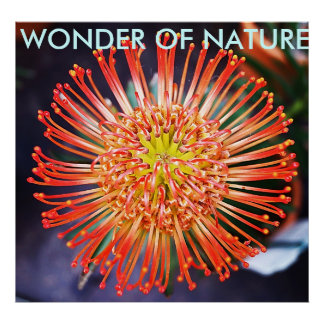 Wunder der Natur - rote Leucospermum Blume Poster