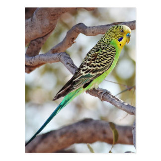 Yellow-Green Budgerigar Postkarte