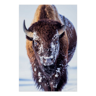Yellowstone Nationalpark USA, Wyoming, Stier 2 Poster