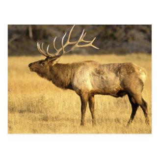 Yellowstone Nationalpark USA, Wyoming. Stier Postkarte