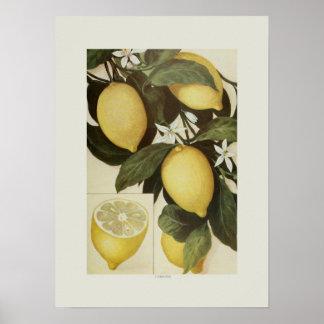 Zitronen Poster