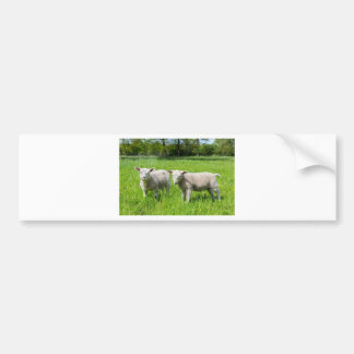 Zwei weiße niederländische Schafe in der grünen Autoaufkleber